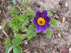 Garten und Landleben: Gewöhnliche Küchenschelle ist eine giftige Schönhe...