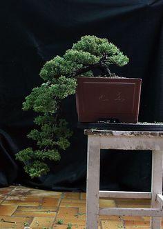 Juniperus Prokumbens Nana - Cascade