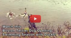 #BostonTerrier #Dog Opening Swimming Season with #Ducks (Video) - Watch the Video here → http://www.bterrier.com/boston-terrier-dog-opening-swimming-season-with-ducks-video/ - https://www.facebook.com/bterrierdogs