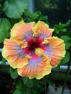Gommer's Hibiscus 2012200-2