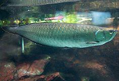 Fisch: Schwarzer Knochenzüngler (Osteoglossum ferreirai) | Fischlexikon Fish Art, Zine, Pets, Types Of Fish, Black Man, Fish
