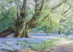 Brian Robinson | Beech Tree & Bluebells. Watercolour