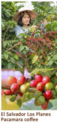 El Salvador Los Planes Pacamara coffee Expensive Coffee, Best Coffee, Coffee Beans, Planes, Coffee Lovers, El Salvador, Airplanes, Aircraft, Plane