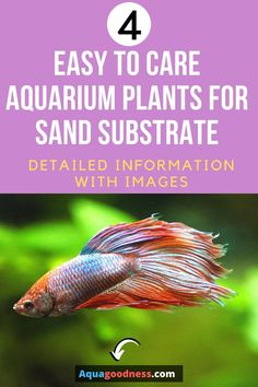 Can Aquarium Plants Grow In Sand? I'll answer this question in this article. I'll also tell you the best aquarium plants to plant in sand substrate in your aquarium or tank. These live freshwater aquarium plants are very hardy and easy to care for so they are very good choices for beginners. These plants include floating aquarium plants, red aquarium plants, low light aquarium plants.#liveaquariumplants#aquariumplants#aquarium#fishtank#aquascape#aquascaping#plantedtank#freshwateraquarium Freshwater Aquarium Plants, Live Aquarium Plants, Tropical Aquarium, Planted Aquarium, Live Plants, Fast Growing Plants, Liquid Fertilizer, Hardy Plants, Aquascaping