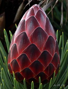 Red Hot Protea - Maui, Hawaii by Barra1man (Catching Up), via Flickr