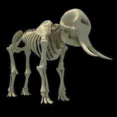 Home African Elephant Skeleton - Animal Skeleton