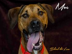 Meet MOE a Petfinder adoptable Rhodesian Ridgeback Dog | Pittsburgh, PA | Meet Moe! I have a Fun-Loving Personality! I'm a very energetic boy that wants to be kept busy! So,...