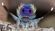 Jumping Spiders #Maratus volans  Peacock #Spider / Gliding Spider   (C) Jurgen Otto #dance video #didgeridoo