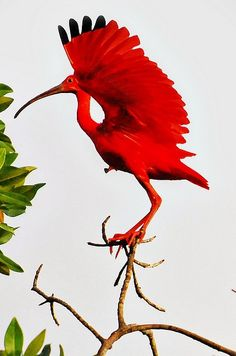 Scarlet Ibis - doesn't really look like a live bird!