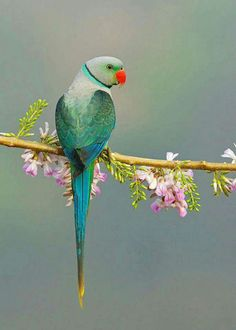 Blue-winged Parakeet, also known as the Malabar Parakeet (Psittacula columboides) endemic to India by Sathish Poojari. All Birds, Cute Birds, Pretty Birds, Little Birds, Beautiful Birds, Animals Beautiful, Cute Animals, Tropical Birds, Exotic Birds