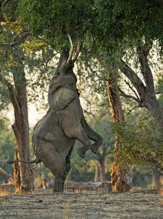 """A Fine Balance"" African Elephant at Mana Pools National Park, Zimbabwe.  By Morkel Erasmus, who said, ""One of the main attractions in Mana Pools is the behavior of the old elephant bulls. They raise themselves up on their hind legs to break off large branches from the massive Ana and Acacia trees, so they and the rest of the elephants can feed from the branch comfortably on the ground."""