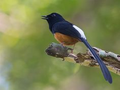 White-rumped Shama, Indian subcontinent & SE Asia