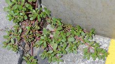 "Purslane is a type of ""weed"" that is accepted worldwide as an edible plant. It grows anywhere that has at least a two-month growing season and the seeds can last up to 25 years.    Many cultures"