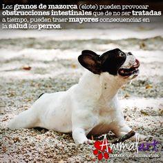 Los granos de mazorca (elote). #animales #perros #mascotas