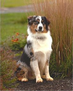 Australian Shepherd Blue Merle - Quotes and Cuteness Australian Shepherd Husky, Australian Shepherd Training, Aussie Shepherd, Australian Shepherds, Aussie Puppies, Dogs And Puppies, Corgi Puppies, Herding Dogs, Dog Activities