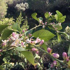 Flores en el #limonero #huertourbanopiluki #arbolesfrutales #árbolescítricos #cítricos #arbolesenflor