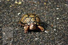 Vinaigrette, Box Turtles, Animals, Turtles, Eating Habits, Healthy Food, Fruit, Seeds, Health