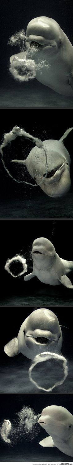 Beluga Whale Playing With Bubbles