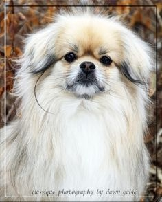 Tibetan spaniel Best breed in the world, nothing beats a Tibbie as far as I am concerned  I am biased of course....