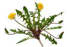 Risultati immagini per taraxacum white background Taraxacum Officinale, Gladiolus, Medicinal Plants, Kraut, Herbal Remedies, Dahlia, Weed, Herbalism, Dandelion