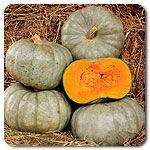 Organic Crown Pumpkin Winter Squash #highmowingseeds
