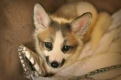 Canadian marble fox, I have never seen this little creature before. What a beauty!