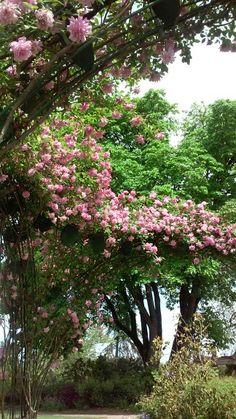 Owen Rose Garden, Eugene OR 4/21/16