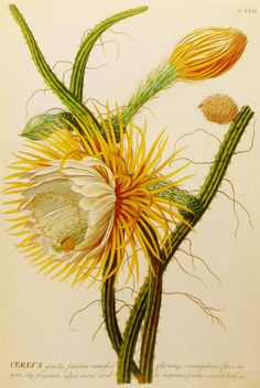 Cereus Cactus Flower Illustration (Botanical Print, 18th Century Botanical Artist) No. 13