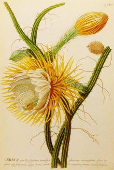 Cereus Cactus Flower Illustration (Botanical Print, 18th Century Botanical Artist) No. 13