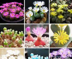 LITHOPS Flores (6)