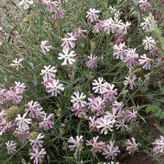 Silene brahuica Boiss. Seeds For Sale, Nursery, Plants, Baby Room, Child Room, Plant, Babies Rooms, Kidsroom, Planets