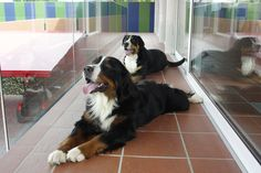 Dogs at Golf Club Udine's Club House. Fagagna - Italy