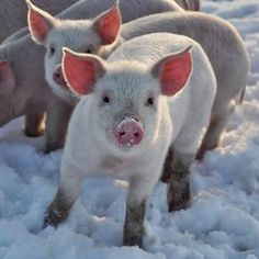 Piglets in the snow..