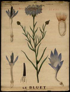Le bleuet - Deyrolle