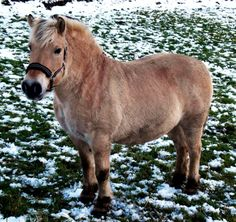 ponies are awesome :) Smart, stubborn because they ARE smart, strong, ornery...love 'em