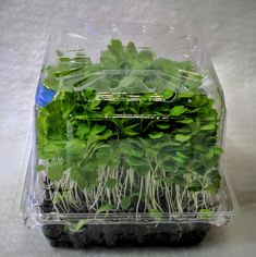 Here are the first photos of our new Micro Lettuce live trays now being tested for shelf life in stores. This new packaging of lettuce (romaine) promises to deliver an enormous nutritional punch....