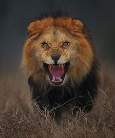 Unbelievable shot shows lion milliseconds away from attacking photographer Atif Saeed. This image captues the fierce essence and those yellow piercing eyes of the lion. It was taken in a safari park near Lahore, Pakistan