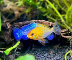 "AquaMom on Instagram: ""Watching these guys soar in-front of the ladies is a beautiful sight. . . . . . #aquarium #aquariumfish #aquariumhobby #plantedtank…"""
