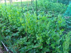 Земляника ,горшек,зеленый лук на одной грядке. Смешанные посадки.Гнездо ...