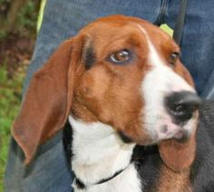Gabriel is an adoptable Treeing Walker Coonhound Dog in Chipley, FL. Gabriel is a 3 to 4 year old neutered male Treeing Walker Coonhound, about 45 pounds. He is a very handsome young man, well groomed...
