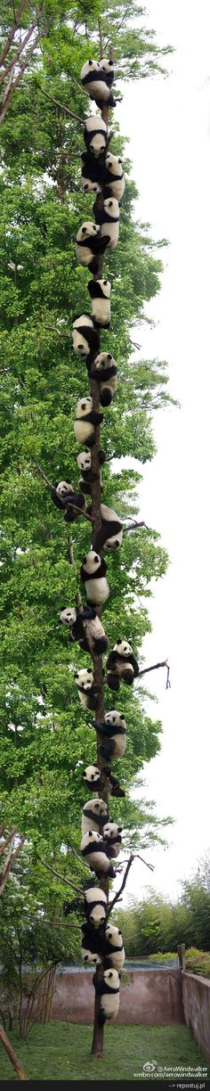Pandas up a tree, in captivity. | Animals will be free and will be roaming around in Jehovah's new world in the very near future. Visit JW.ORG to learn more.