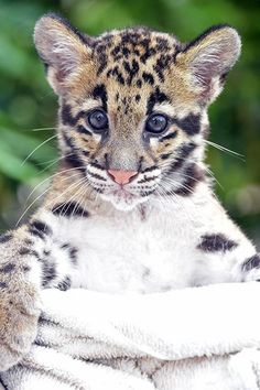 Clouded Leopard from Miami