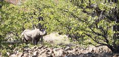 Desert Rhino Camp - tracking black rhino on foot Rocky Hill, Tour Operator, Wilderness, Safari, Africa, Camping, Tours, Mountains, Pictures
