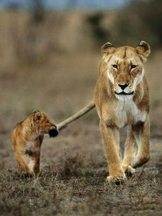 Mother lion and cub. Follow mom
