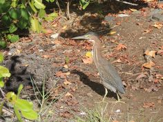 green heron (Martinique)