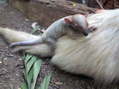 The Minnesota Zoo is thrilled to announce the  rare birth of a Southern Tamandua infant. Born April 8, the Tamandua – a female – has been spending time bonding with her mom in their exhibit on the Tropics Trail. She weighs just under one pound.