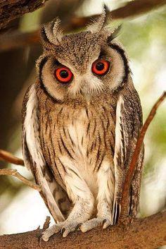 「フクロウ ペットが野生化」の画像検索結果
