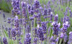 Lavendel ist ein beliebter Sommerblüher mit angenehmem Blütenduft