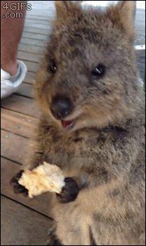 quokka-mignons-australie