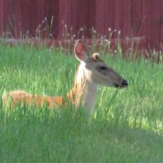 Button buck in front yard june 2014